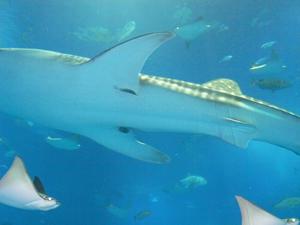 ジンベイザメの写真