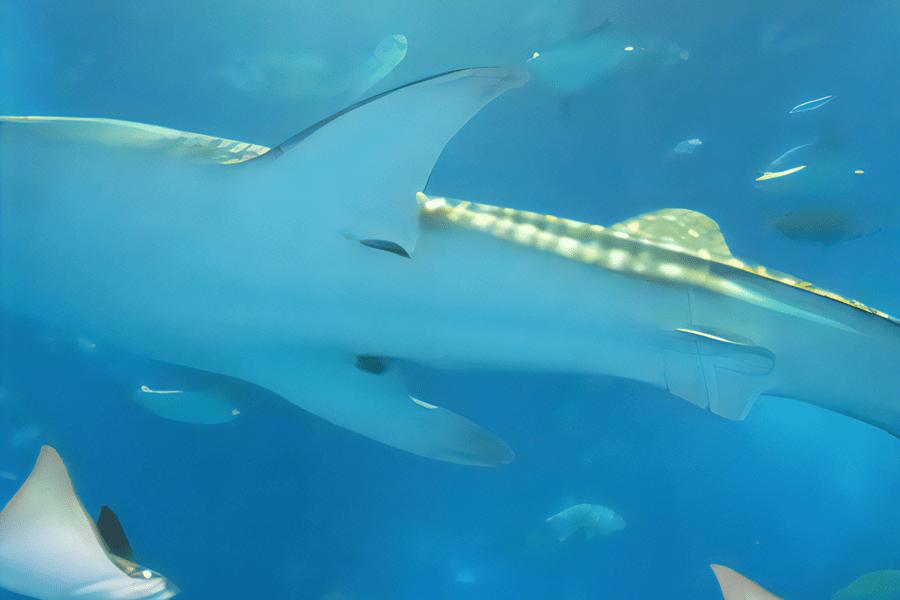 美ら海水族館で泳ぐジンベイザメ